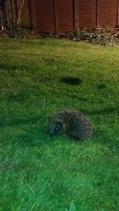 Hedgehog in garden Black Lane