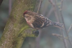 Redpoll 03 Feb 2018 Black Lane, Whiston